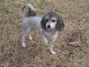 Millie, a small gray dog with her fur trimmed short except on her  ears and the tip of her tail.