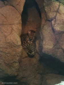 Two ocelot kits sleep in a crevice in a wall