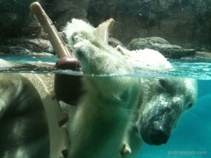 A polar bear holds onto a plastic chair while swimming