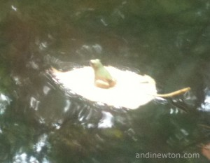 A tiny frog floats on a leaf in a pond