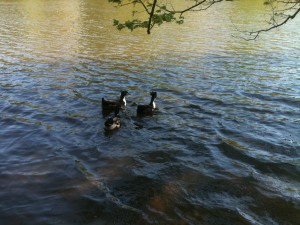 Three ducks swimming in a lake