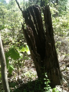 A rotten tree trunk