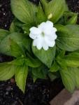 Wordless Wednesday: Sunpatien Bloom